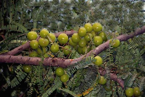 Group of Amla Berries