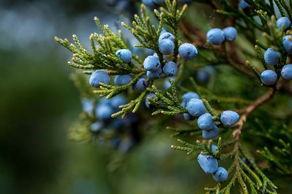 Juniper Berries in Natural Habitat