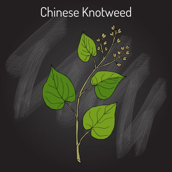 Chinese Knotweed Plant