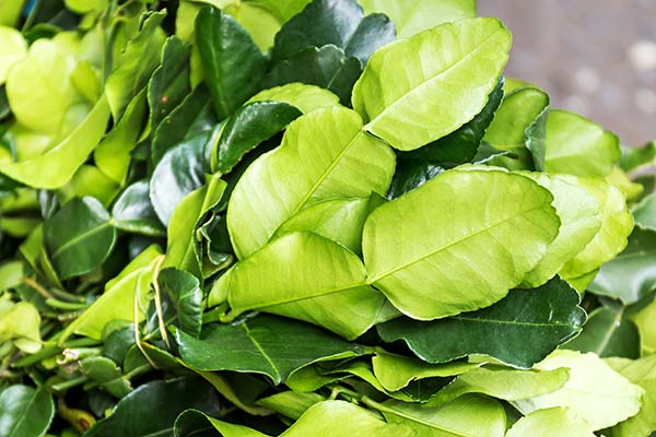Beautiful Kaffir Lime Leaves