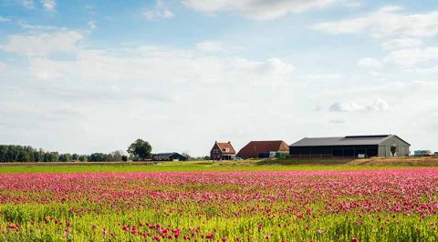 Poppies Cultivating in Dutch Polder