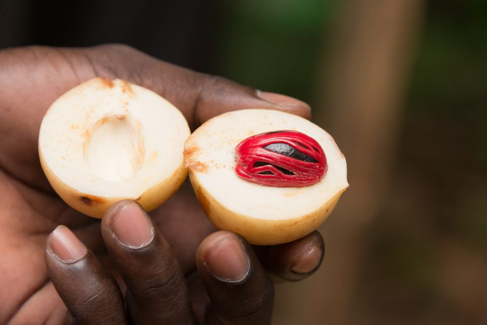 farm worker on zanzibar spice plantation presenting freshly harvested nutmeg and mace during a guided spice tour